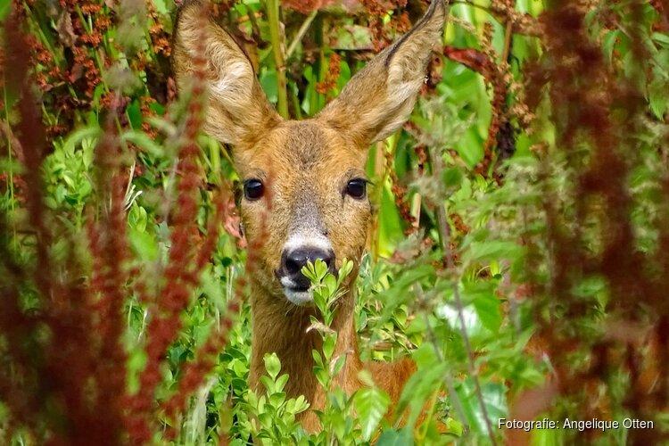 Ga vrijdag 24 juli in de avondschemering op pad met de boswachter en ontdek reeën in het Corversbos